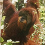 ORANG-UTANS AND MAP READING