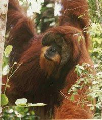 rp_038-Male-swamp-orangutan.jpg