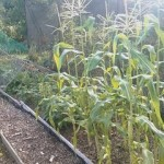 I-allotment-sweet-corn
