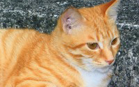 P-animal-cat