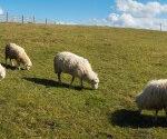 P-animals-sheep