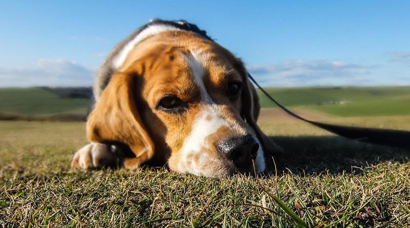 P-animal-dog-lyingdown