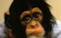 P-animals-monkey-chimp
