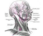P-lymph-system