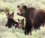 P-author-Yellowstone-bear