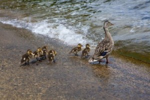 Mother duck leading ducklings