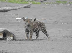p-author-jaguar cub