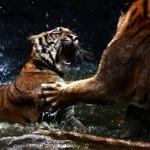 Aggressive tigers