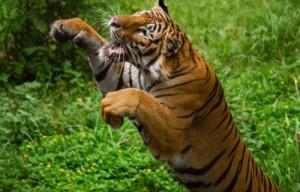 p-tiger