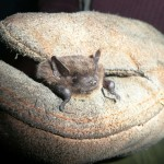 Soprano Pipistrelle Bat - photo by Gemma Rogers, Bat Conservation Trust