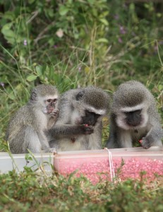 Monkey Social Gathering
