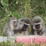 MONKEYS FOUND TO CONFORM TO SOCIAL NORMS