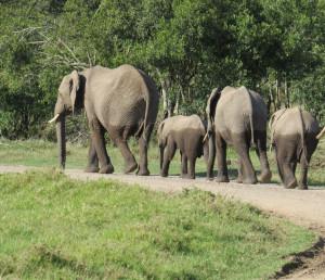 Elephant Family - Africa