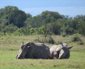Rhinos in Laikipia, Kenya