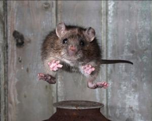Acrobatic rat!
