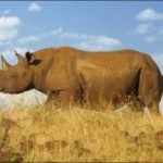 NEW PROJECT TO SAVE THE RHINO