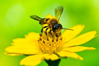 Discussion on this topic: How to Help Allergies with Bee Pollen, how-to-help-allergies-with-bee-pollen/