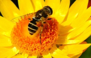 Honey bee gathering pollen