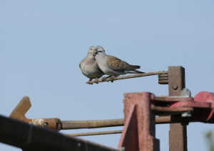 P-turtle dove-bird-nature
