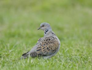 P-turtle dove-bird-nature-grass