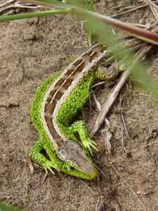 P-Male Sand Lizard Sefton Coast - copyright NMARG
