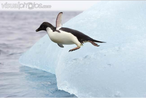 Adelie penguin goes for a swim!