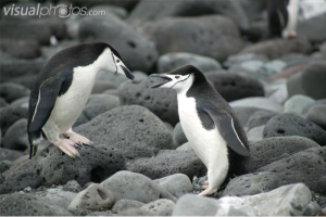 Chinstrap penguin off for a swim!