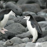 AS KRILL DECLINE – SO DO PENGUIN POPULATIONS