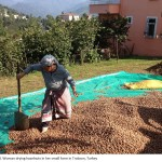 Hazelnut farming in Turkey