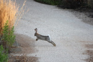 Run rabbit, run rabbit