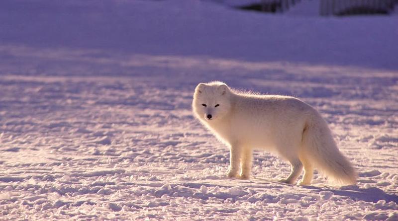 P-animal-arctic-fox-snow