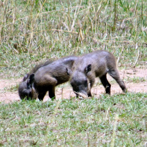 P-animal-baby-warthogs