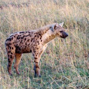 P-animal-hyena
