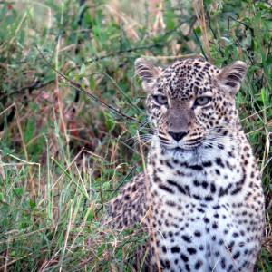 P-animal-leopard