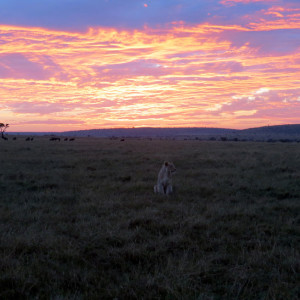 P-animal-lion-sunrise-africa