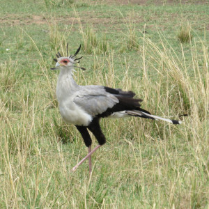 P-animal-secretary-bird