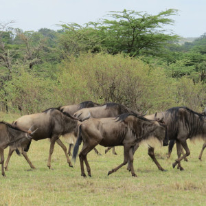 P-animal-wildebeest-africa
