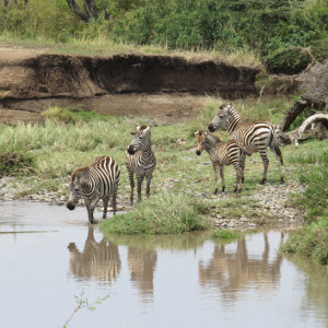 P-animal-zebra-river
