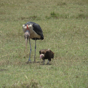P-bird-marabou-stork-lappet-faced-vulture