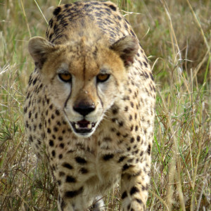 P-cheetah-animal-africa