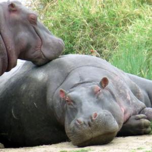 P-hippo-animal