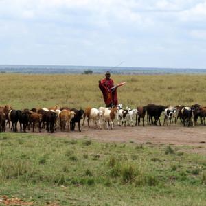 P-masai-mara-shepherd