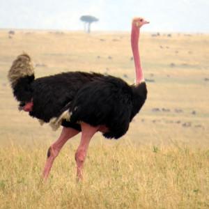 P-masai-ostrich-bird