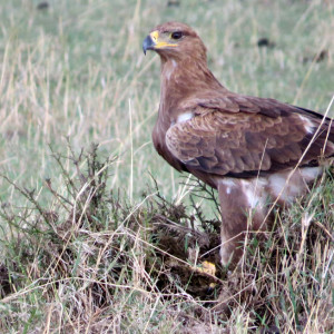 A tawny eagle.
