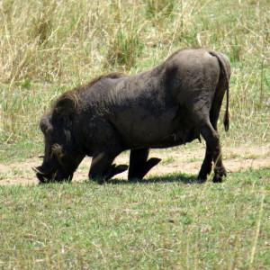 P-warthog-animal