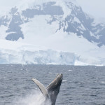 15 FASCINATING FACTS ABOUT HUMPBACK & MINKE WHALES IN THE ANTARCTIC PENINSULA
