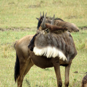P-wildebeest-animal