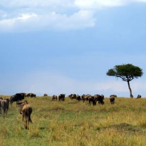 P-wildebeest-landscape