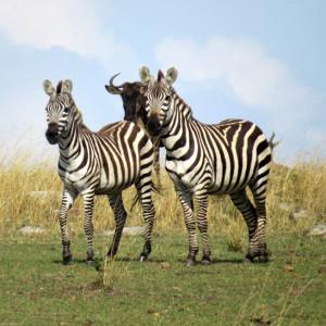 P-zebra-animal