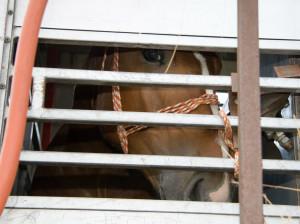 Horse in transporter